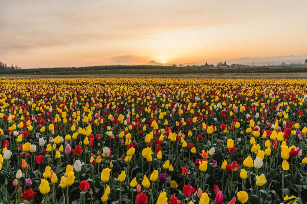 A Portland Oregon Day Trip To Wooden Shoe Tulip Festival